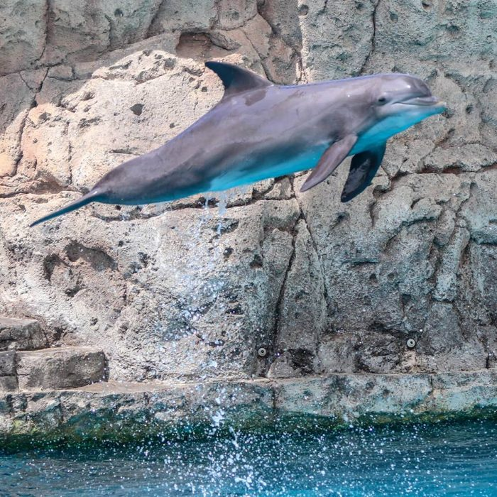 Dolphin leaping during DOLPHINS! presentation