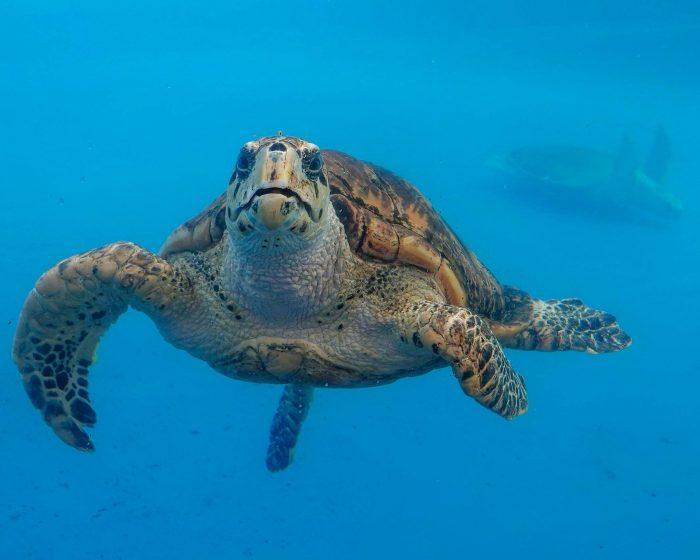 Hawksbill sea turtle in Tortuga Cay