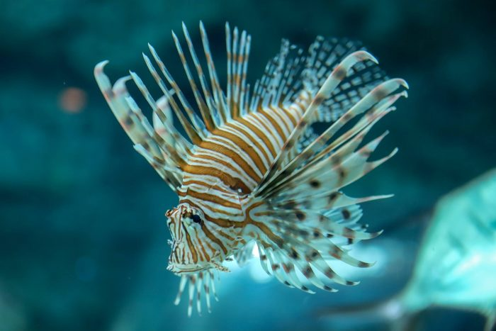 Lionfish in Blue Hole exhibit