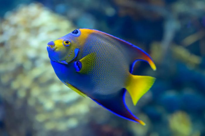 Queen angelfish in Coral Reef