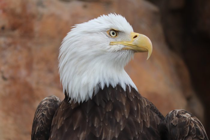 Bald eagle in Eagle Pass