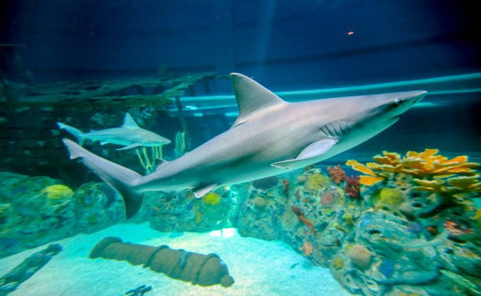 Sandbar sharks in H-E-B Caribbean Sea