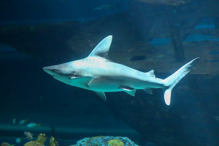 Sandbark Shark