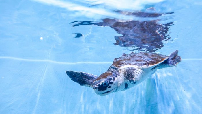 Champ the rescued Kemp's ridley sea turtle