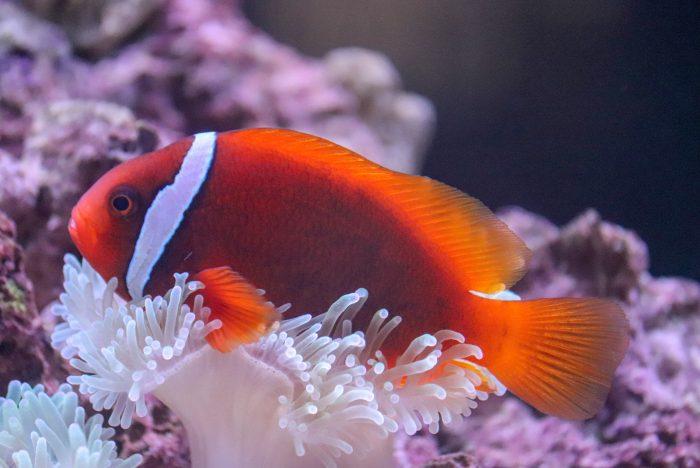 Tomato clownfish