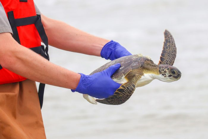 Rescued green sea turtle being released back into its natural habitat
