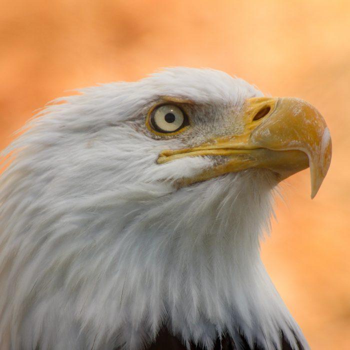 Grace the bald eagle