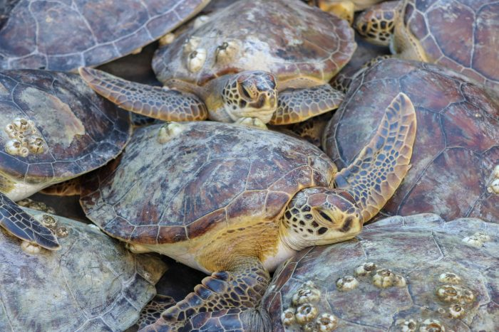 Rescued green sea turtles before release into their natural habitat