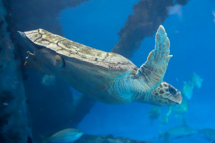 Tiki the loggerhead sea turtle in Islands of Steel