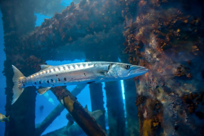 Barracuda in Islands of Steel