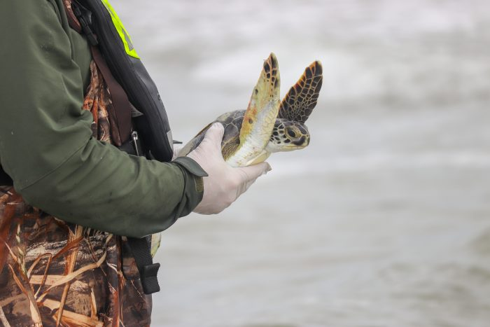 Rescued green sea turtle being released
