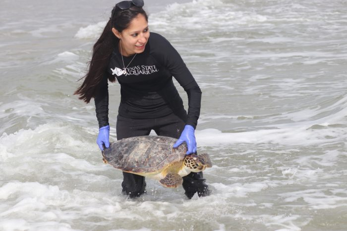 Release of rescued green sea turtle