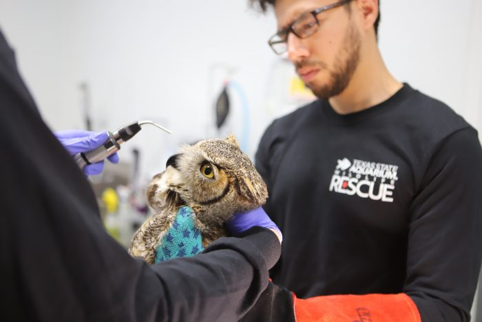 Wildlife Rescue staff observe great horned owl