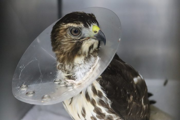 Rescued hawk in Wildlife Rescue