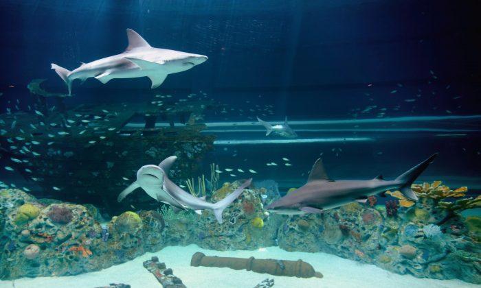 Sandbar sharks