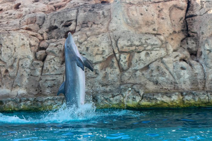 "Dolphin exhibits behavior during ""DOLPHINS!"" presentation"