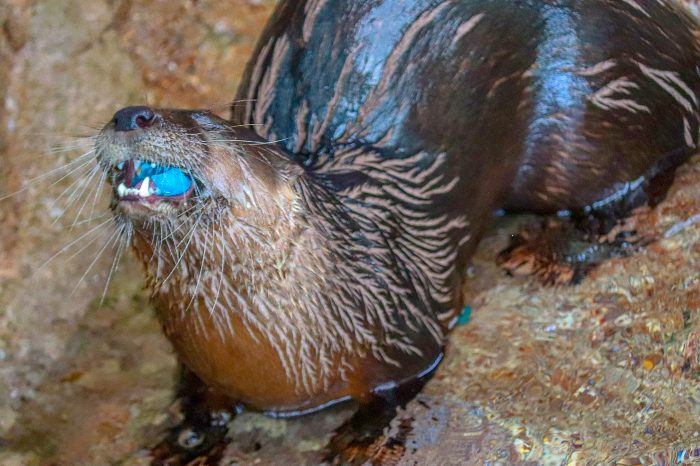 River otter eats gelatin during enrichment session