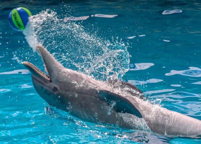 Dolphin interacts with Environmental Enrichment Device