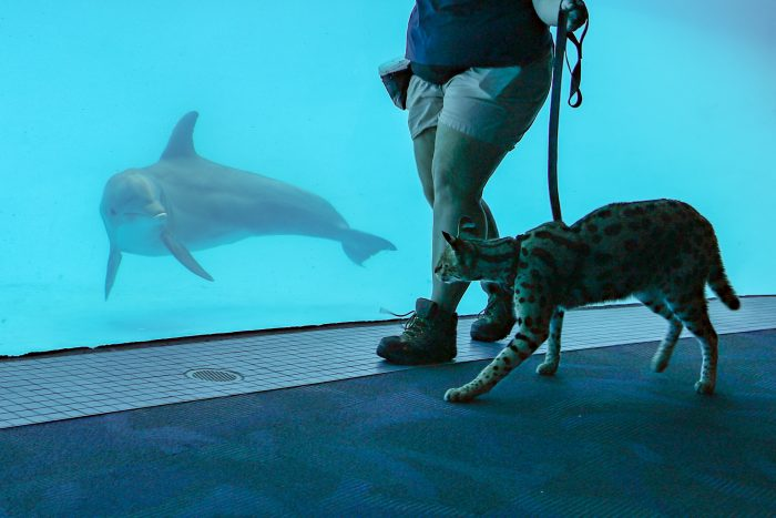 Dolphin interacts with African serval for enrichment