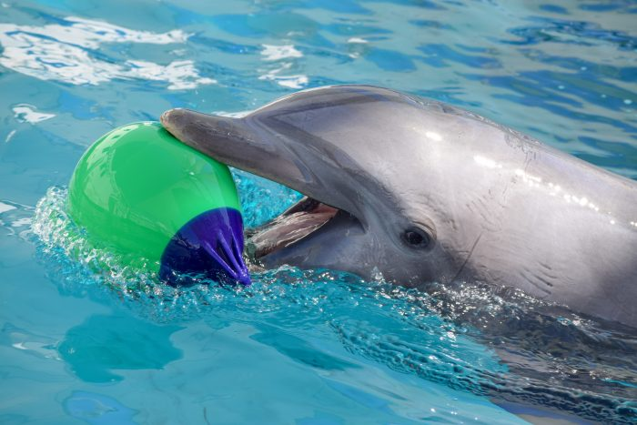 Dolphin with Environmental Enrichment Device