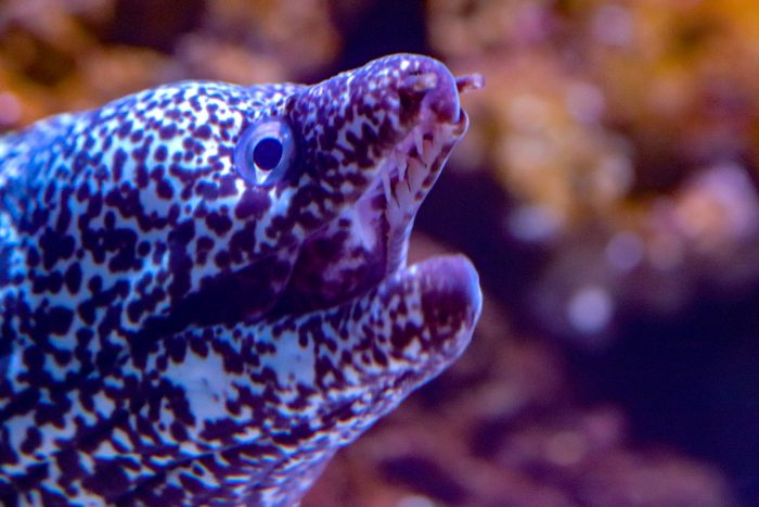 Spotted moray eel