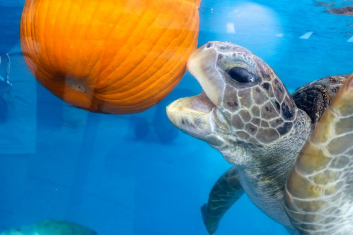Sea turtles with enrichment treats