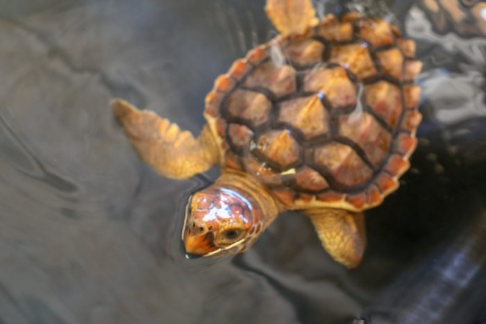 Rescued loggerhead sea turtle at Wildlife Rescue Center
