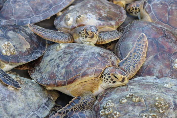 Rescued sea turtles during offshore release