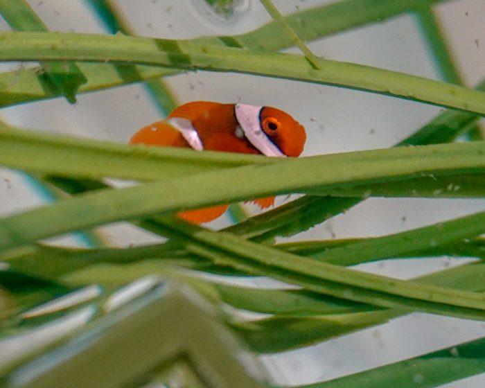 Newly-hatched tomato clownfish