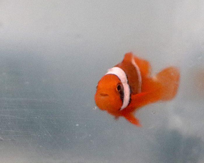 Baby tomato clownfish