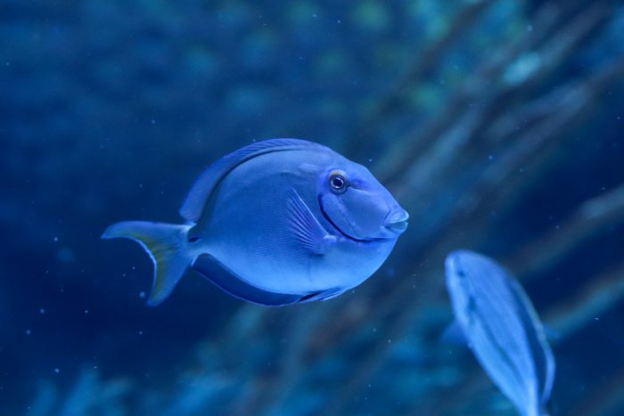 Blue tang in Coral Reef
