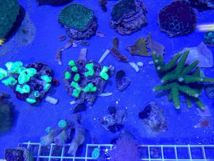 Corals in Coral Propagation Nursery