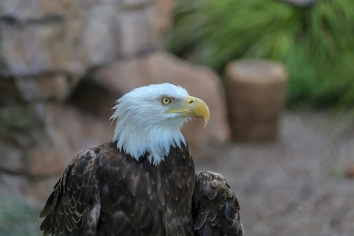 "Bald eagle ""Grace"""