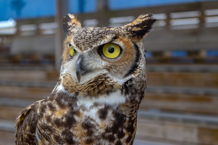 "Great-horned owl ""Chance"""