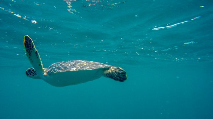 Green sea turtle after offshore release