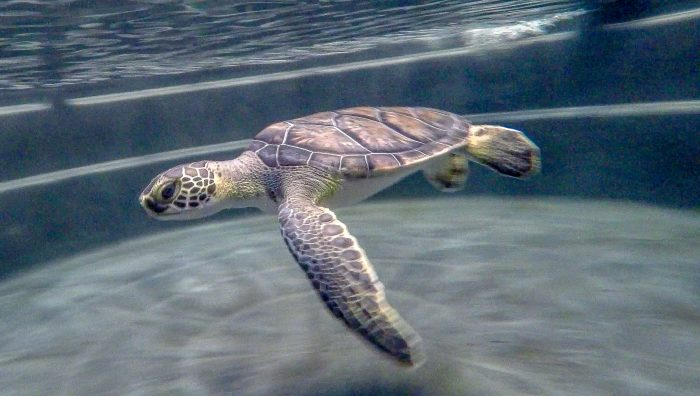 Green sea turtle in rehab pool