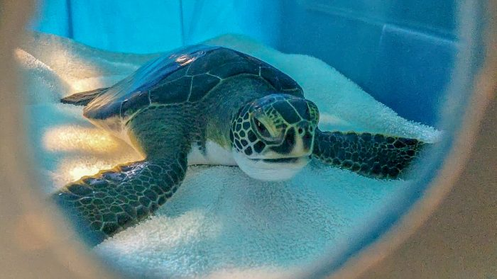 Rehabilitated sea turtle being transported to release site