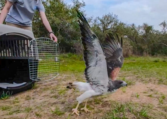 Wildlife Rescue released rehabilitated white-tailed hawk