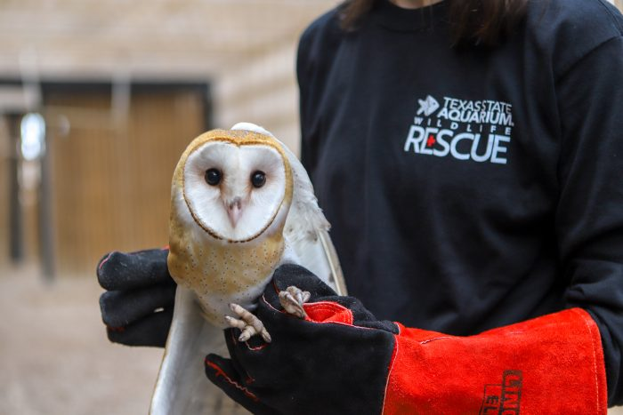 Rescued barn owl being prepped for release