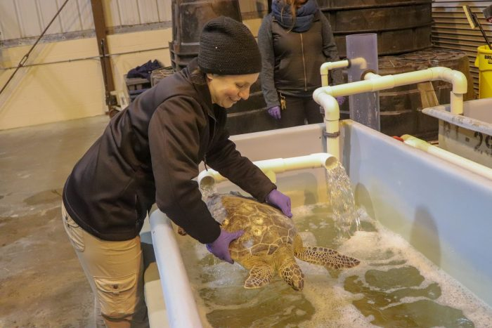 Rescued sea turtle being placed in Wildlife Rescue Center