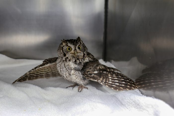 Rescued screech owl at Wildlife Rescue Center