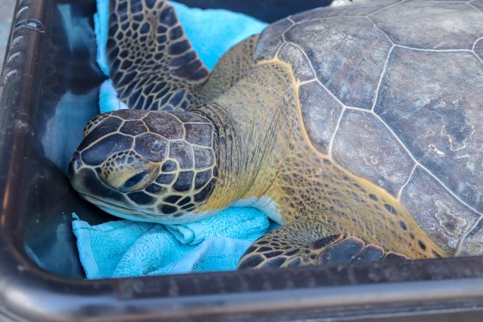 Rescued sea turtle upon arrival to Wildlife Rescue Center