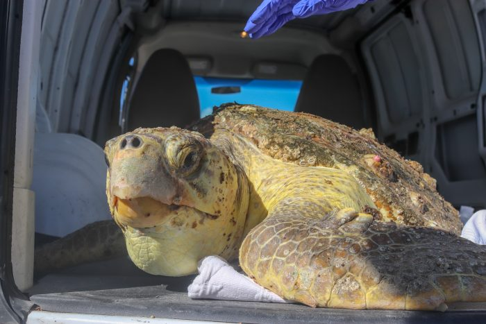 Rescued sea turtle upon arrival at Wildlife Rescue Center