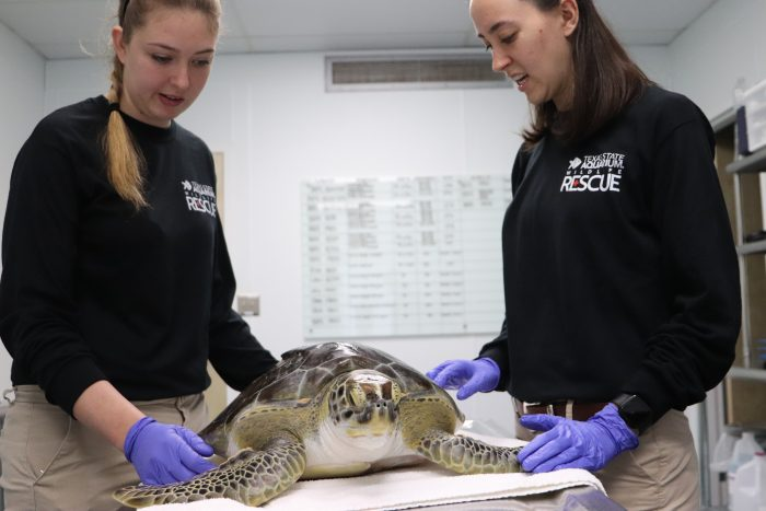 Wildlife Rescue treating rescued sea turtle