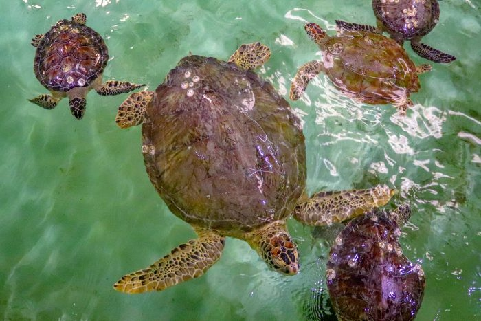 Rescued sea turtles in Wildlife Rescue's rehabilitation pool