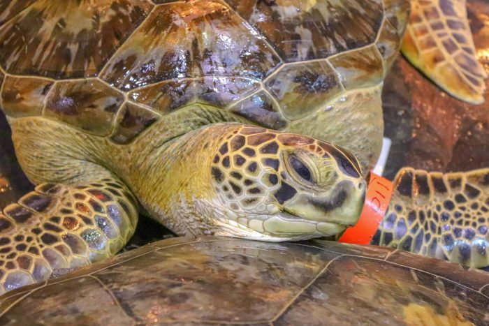Rescued sea turtles during intake into Wildlife Rescue