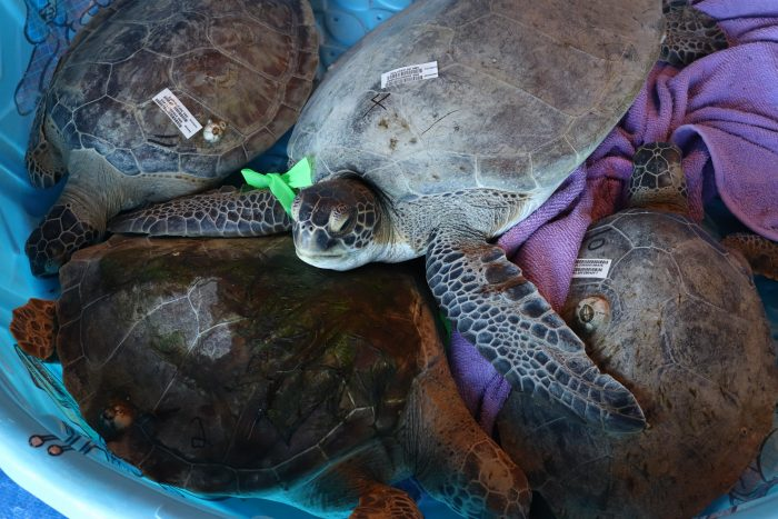 Rescued sea turtles during transport to Wildlife Rescue