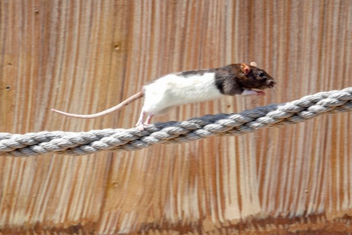 Rat in Wild Flight Show