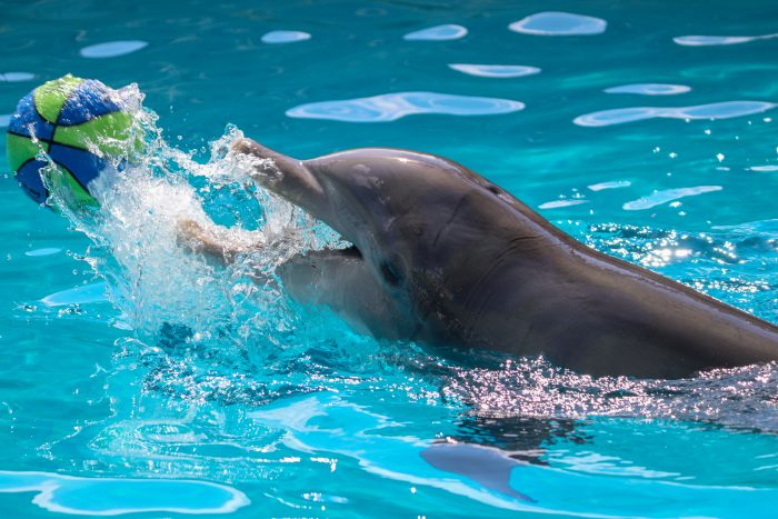 Dolphin interacts with enrichment device