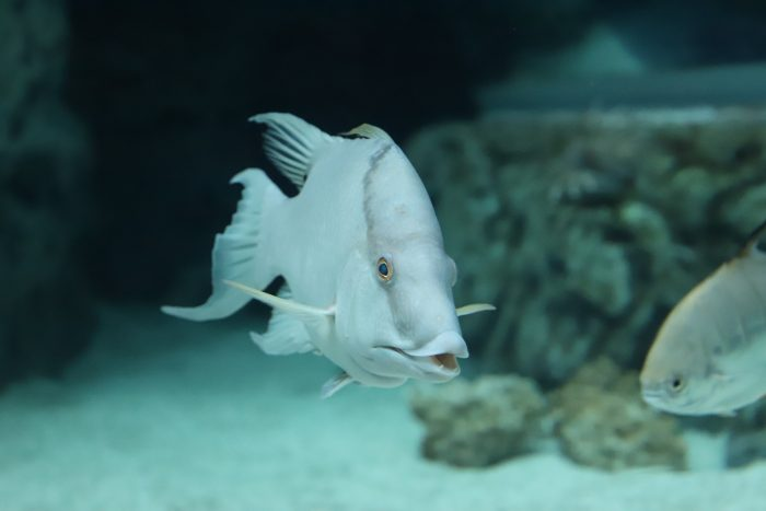 Rooster hogfish